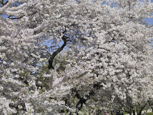 Yoshino cherry in bloom