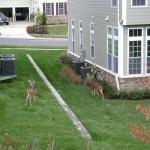 Deer in Leesburg