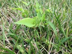 Broadleaf weeds are more noticeable in grass that is cut too short.