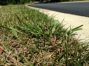Crabgrass starts to pop up this time of year, even in turf that was treated in spring.