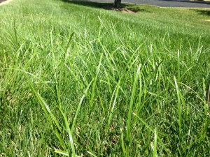 Nutsedge grows at a faster rate than turf grass