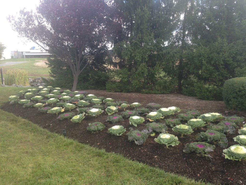 Try Ornamental Cabbage And Kale To Beat The Deer Blake Landscapes