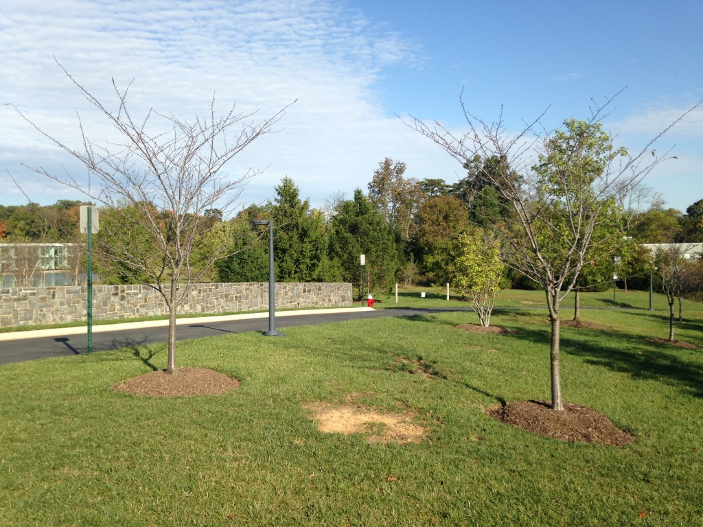 These cherry trees at an Ashburn-area office campus dropped their leaves in August but are expected to survive.