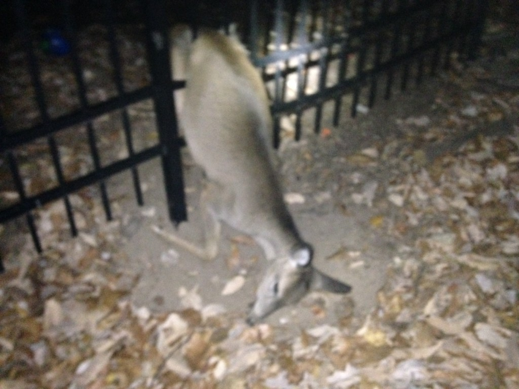 Sometimes deer will try to get over or through a 7' fence.  It rarely ends well.