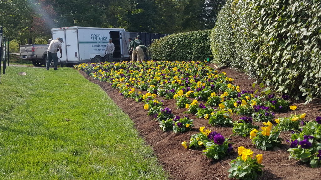 Plant Pansies In Fall For Brilliant