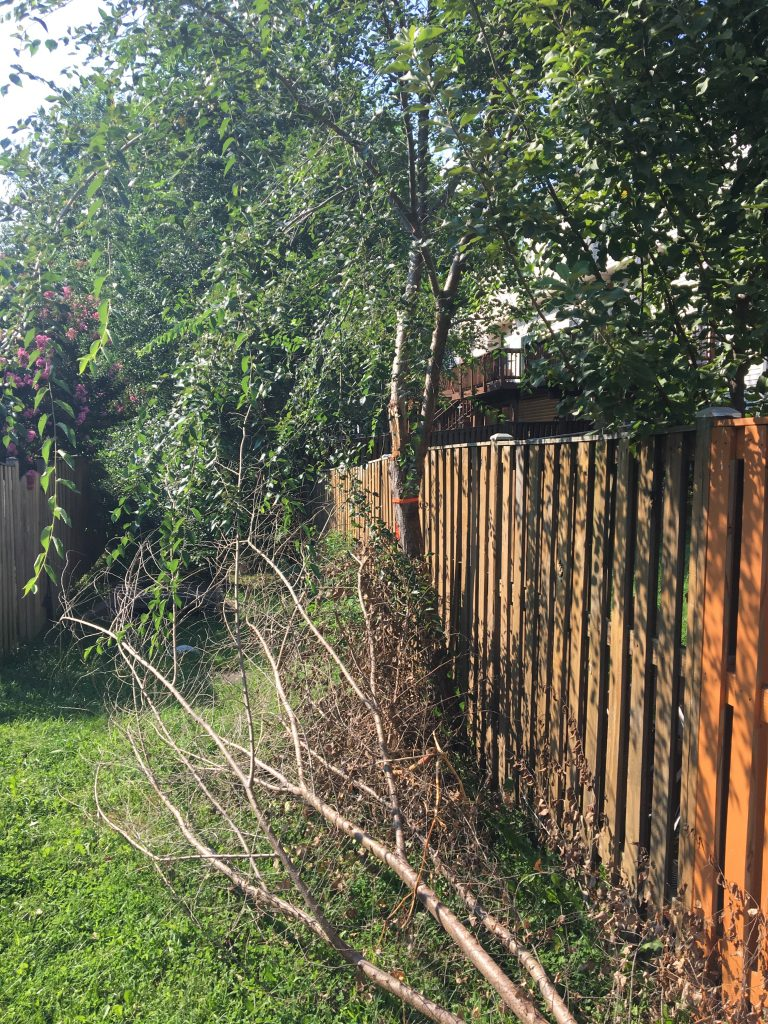 This common area has become almost impassable because of volunteer trees growing through fences.